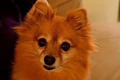 pomeranian的狗 免版税图库摄影