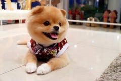 pomeranian的狗 库存图片