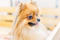 Pomeranian站立在木箱和好奇看的波美丝毛狗狗小狗  与开放嘴的逗人喜爱的愉快的画象特写镜头 免版税图库摄影