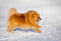 Pomeranian跑在雪的波美丝毛狗狗 库存图片