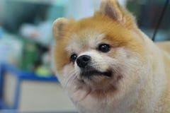 pomeranian逗人喜爱的毛茸的狗 免版税库存图片
