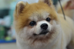 pomeranian逗人喜爱的毛茸的狗 免版税库存照片