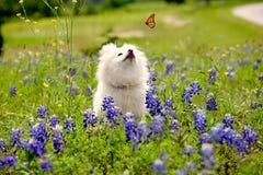 Pomeranian,蝴蝶 图库摄影