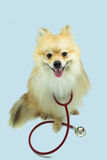 Pomeranian και ένα στηθοσκόπιο Στοκ εικόνα με δικαίωμα ελεύθερης χρήσης