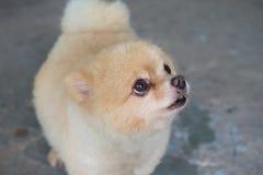 pomeranian κουτάβι σκυλιών (εκλεκτική εστίαση) Στοκ Φωτογραφίες