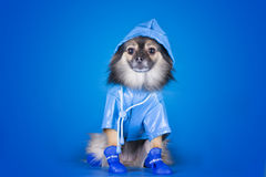 Pomeranian σε ένα αδιάβροχο με την ομπρέλα που απομονώνεται σε ένα μπλε backgr Στοκ Εικόνα