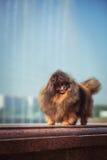 Pomeranian στη φύση, το σκυλί στο πάρκο Στοκ εικόνες με δικαίωμα ελεύθερης χρήσης