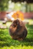 Pomeranian στη φύση, το σκυλί στο πάρκο Στοκ φωτογραφία με δικαίωμα ελεύθερης χρήσης