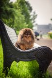 Pomeranian στη φύση, το σκυλί στο πάρκο Στοκ εικόνα με δικαίωμα ελεύθερης χρήσης