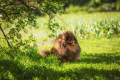 Pomeranian στη φύση, το σκυλί στο πάρκο Στοκ φωτογραφίες με δικαίωμα ελεύθερης χρήσης