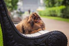 Pomeranian στη φύση, το σκυλί στο πάρκο Στοκ Εικόνα