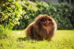 Pomeranian στη φύση, το σκυλί στο πάρκο Στοκ Φωτογραφίες