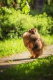 Pomeranian στη φύση, το σκυλί στο πάρκο Στοκ Φωτογραφία