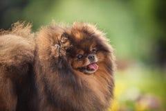 Pomeranian στη φύση, το σκυλί στο πάρκο Στοκ Εικόνες