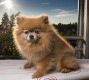 Pomeranian в солнце Стоковые Изображения RF