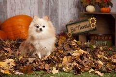 Pomeranian играя в листьях Стоковая Фотография RF