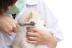 Pomeranian после вырезывания ливня Стоковые Фото