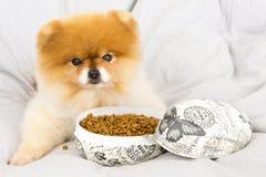 Pomeranian получая обслуживания в пасхальном яйце Стоковые Фотографии RF
