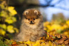 pomeranian щенок Стоковые Изображения RF