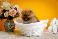 Pomeranian, щенята, шиканье Стоковое Изображение RF