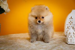 Pomeranian, щенята, шиканье Стоковые Изображения RF
