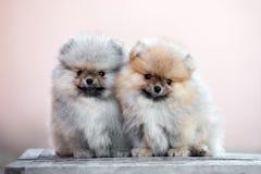 2 pomeranian щенят шпица представляя outdoors совместно Стоковые Фотографии RF
