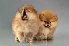 2 pomeranian щенят Стоковая Фотография