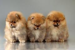 3 pomeranian щенят Стоковые Фото