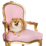 Pomeranian (10 mois) Images libres de droits