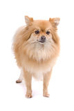 Pomeranian Royalty Free Stock Images
