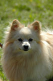 Pomeranian Stock Image