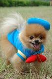 Pomeranian Fotografie Stock