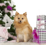 Pomeranian, 18 months old, with Christmas tree Stock Images