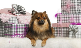 Pomeranian, 2 years old, lying with Christmas Royalty Free Stock Photo