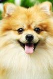 Pomeranian imagem de stock royalty free