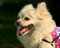 Pomeranian. Three quarters side profile of a white dog of pomeranian and spitz heritage Royalty Free Stock Photography