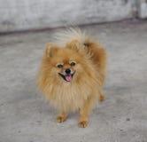 Pomeranian Lizenzfreie Stockfotografie