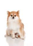 Pomeranian Royalty Free Stock Photography