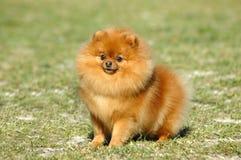 Pomeranian foto de archivo