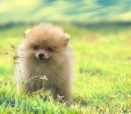Pomeranian Στοκ φωτογραφία με δικαίωμα ελεύθερης χρήσης