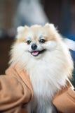 Pomeranian Imagem de Stock