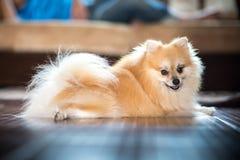 Pomeranian Imágenes de archivo libres de regalías