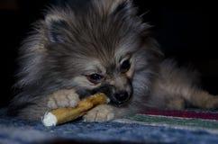 Pomeranian Immagini Stock
