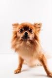 Pomeranian  Στοκ εικόνα με δικαίωμα ελεύθερης χρήσης
