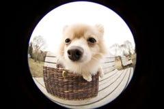 Pomeranian Royalty-vrije Stock Afbeeldingen