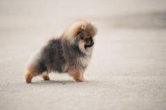 Pomeranian波美丝毛狗小狗走 免版税库存图片