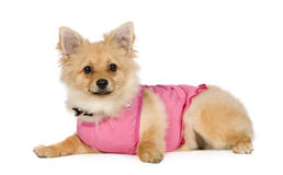 Pomeranian (6 months) Royalty Free Stock Photography