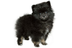 Pomeranian Stock Photos