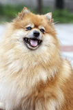 Pomeranian Royalty Free Stock Image