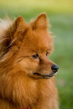 Pomeranian. Portrait of a beautiful pomeranian dog of the small spitz variety in profile and close-up Royalty Free Stock Photography